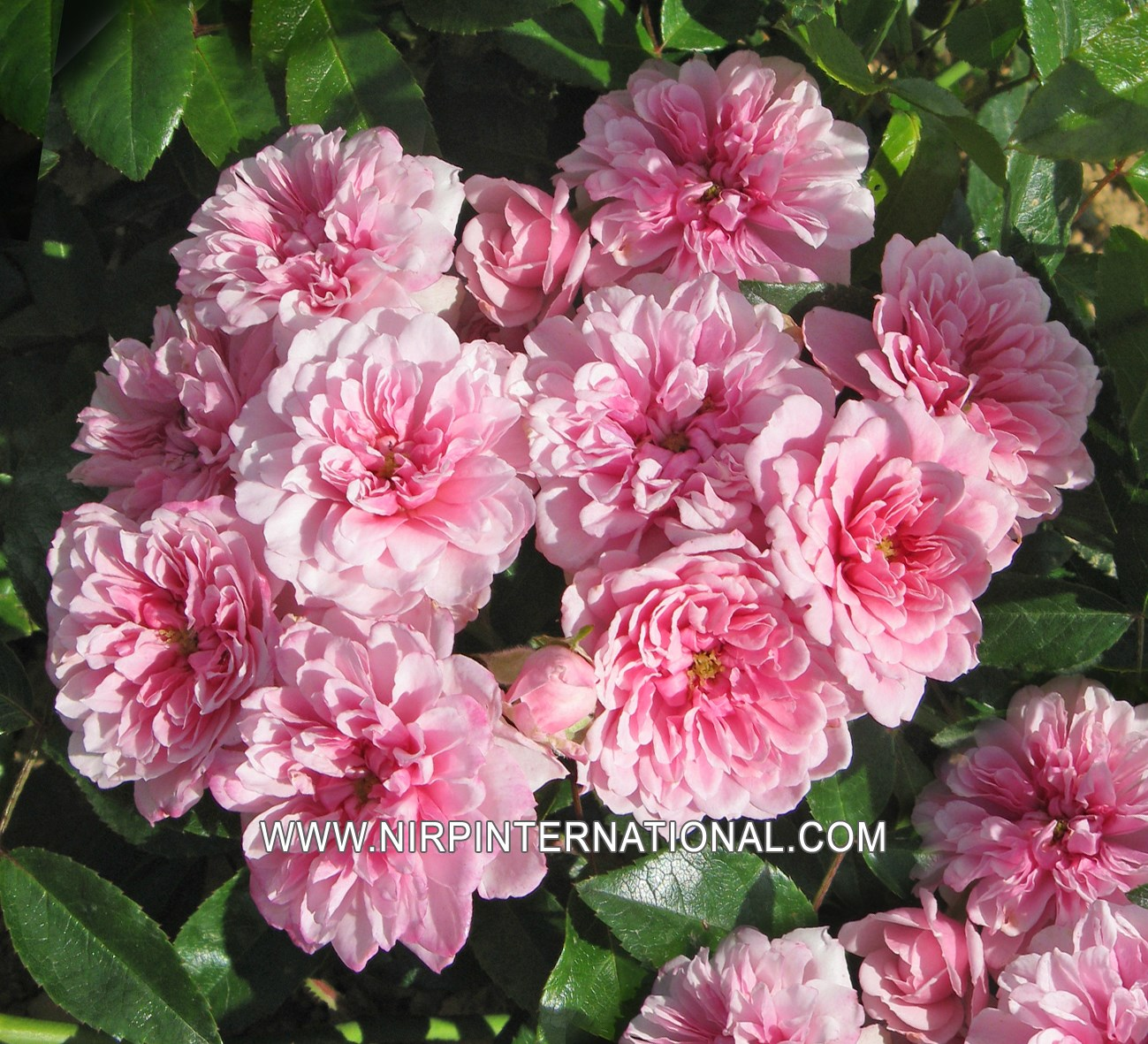Rose Rampicanti Senza Spine petit bonheur® - nirp